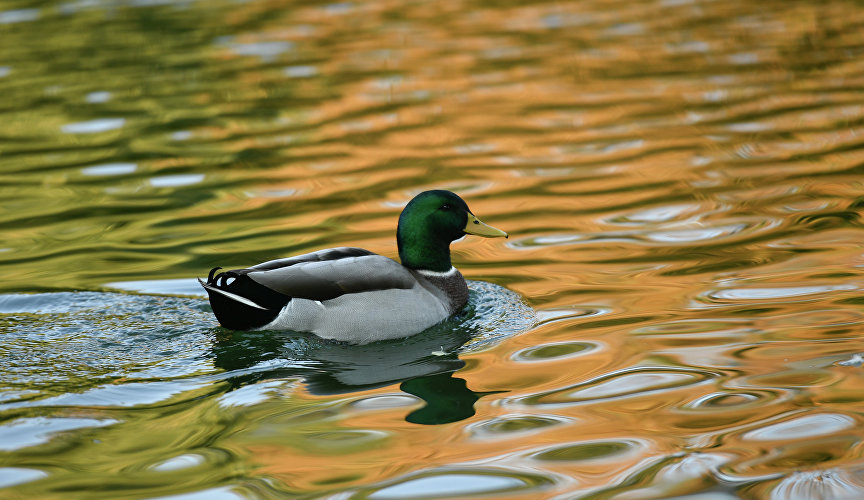 Duck in the pond of the park. Gagarina